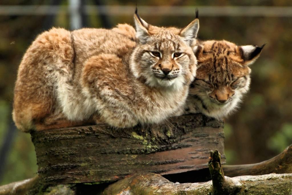 european_lynx_-_whipsnade_zoo_10774402114