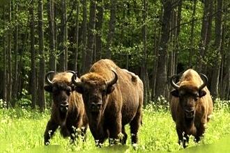 """Wycieczka na Białoruś do Parku Narodowego """"Białowieska Puszcza"""" – 2 dni (bez wizy)"""